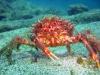 crab-big