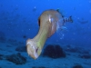 trompetfish-big