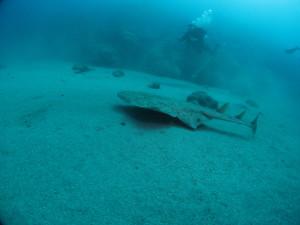 Angle Shark